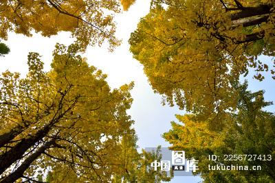 秋天的银杏树叶