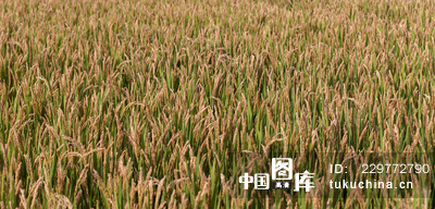 微信头像风景稻田
