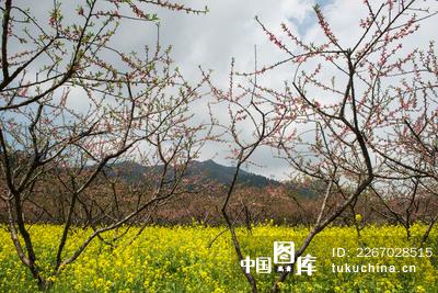 桃树下的油菜花