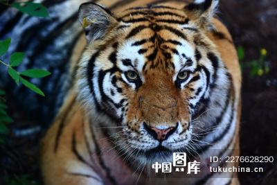 动物类:吉林东北虎