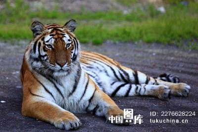 动物类:中国吉林东北虎