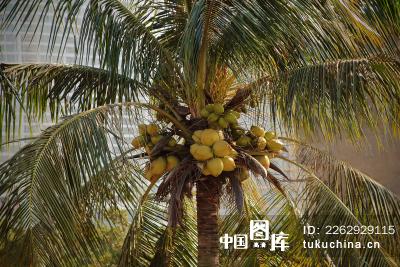 >椰子树 图库  图片编号:2262929115                [无肖像权;无物