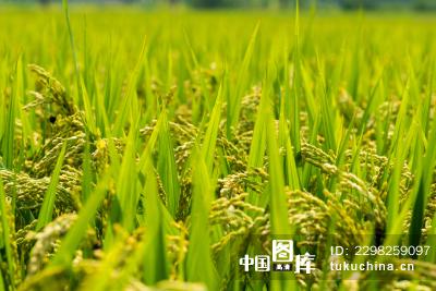 稻田背景矢量图