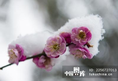 雪中开放的梅花