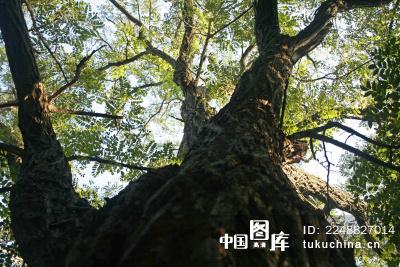大树的树干